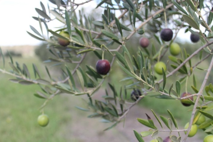Olive Grow