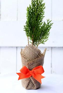 cypress pine bomboniere