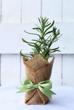 lavendar bomboniere plant